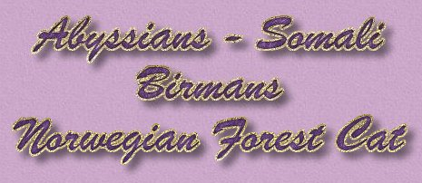 Abyssinians / Sacred Birmans / Norwegian Forest Cats